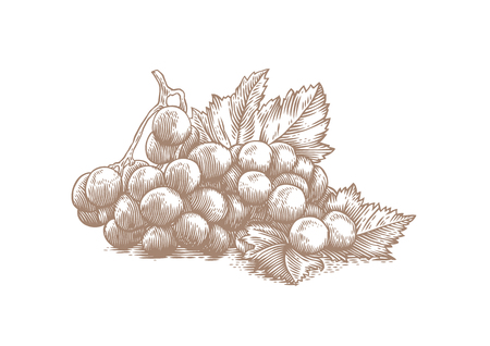 Drawing of bunch of white grapes with berries and green leaves