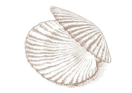 mollusc: Drawing of isolated opened white scallop