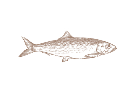 Tekening van hele levende haring op het wit