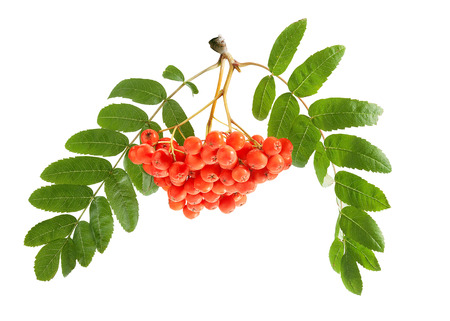 Bunch of raw Rowan with berries and leaves