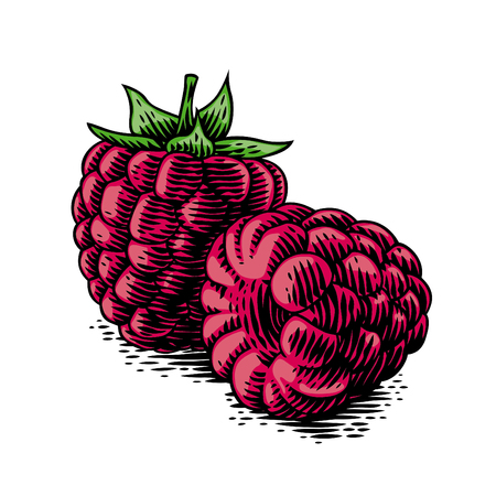 Drawing of two fresh raspberries on the white.