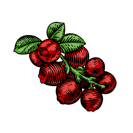 Branch of cranberry with red berries and leaves. Illustration
