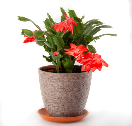 Isolated Schlumbergera in the flowerpot on the white background Stock Photo
