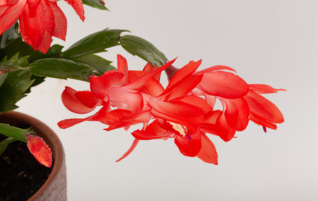 Isolated red flowers of Schlumbergera on the white Stock Photo