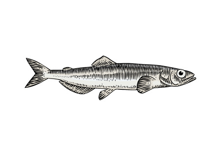 Drawing of isolated live capelin on the white