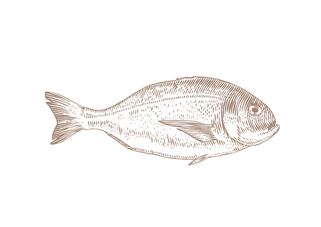Drawing of isolated live dorado fish on the white