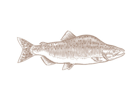 Drawing of isolated live humpback salmon on the white Banco de Imagens - 121828016