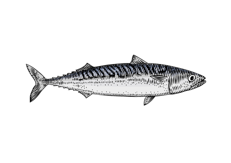 Drawing of live mackerel on the white background Ilustrace
