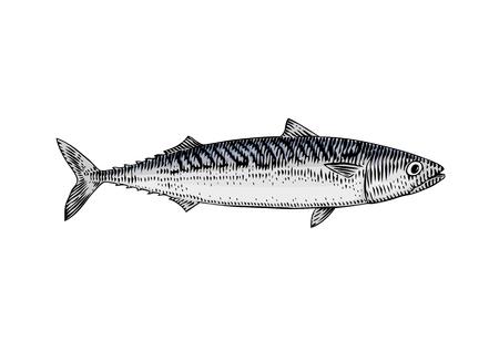 Drawing of live mackerel on the white background Reklamní fotografie - 103506305