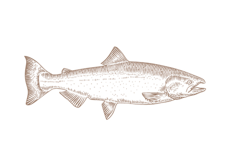 Drawing of isolated live salmon on the white