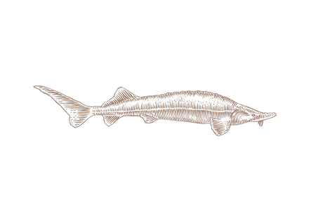 Drawing of isolated live sturgeon fish on the white