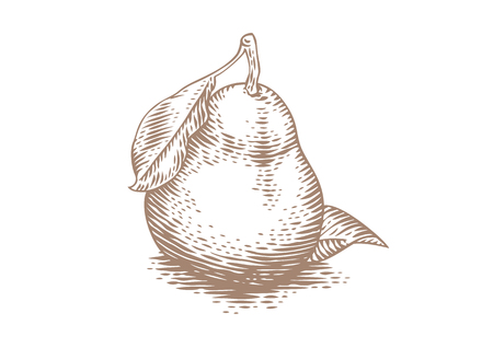Drawing of fresh whole pear with leaves on the white