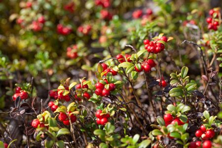 Cowberry bushes in the glade of forest with berries