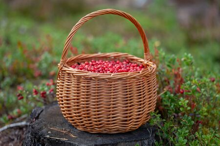 Basket of cranberries on the stump in the forest glade Stock Photo