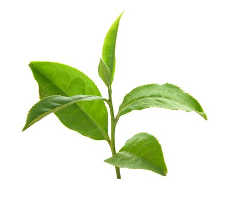 Green tra branch with top leaves on the white background