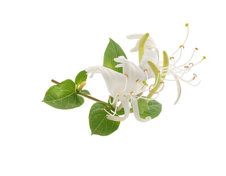 Isolated branch of blossoming honeysuckle on the white