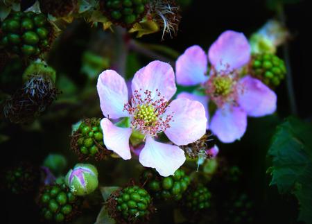 blackberry bush: blackberry