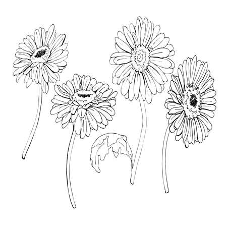 Gerbera daisy or chamomile flowers drawn by ink. Hand drawn vector illustration. Ilustração