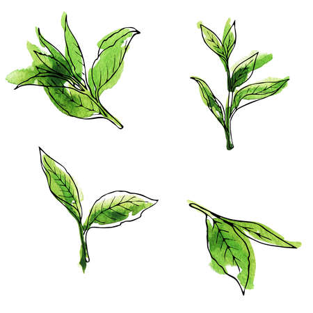 Green tea leaves set painted by watercolor and ink. Hand drawn illustration.