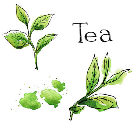 Green tea leaves set painted by watercolor and ink. Hand lettering. Hand drawn illustration.