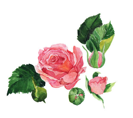Pink rose painted by watercolor on white background.Hand drawn illustration.