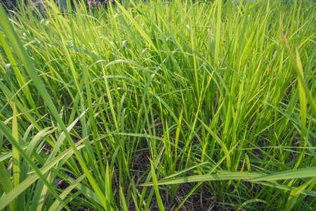 bulrush: Green Bulrush Stock Photo