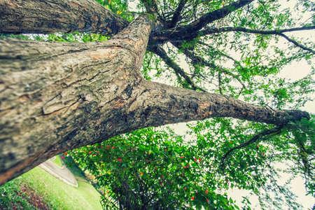 crack willow: big tree trunk Stock Photo