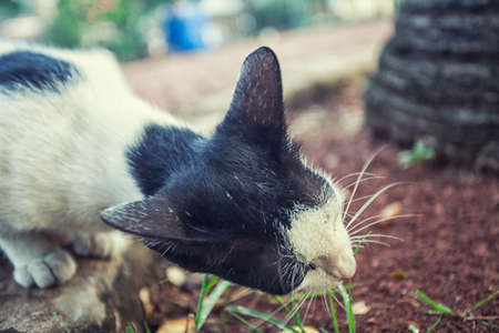 cat eating: cat eating grass at the garden stock photo Stock Photo