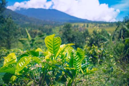 hochalpenstrasse: close up tea plants with landscape background Stock Photo