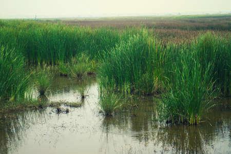 bulrush: Bulrush in the swamp landscape