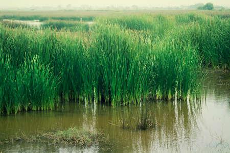 bulrush: bulrush in the swamp