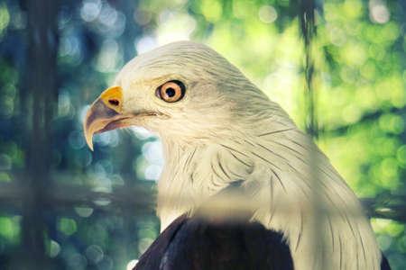 Eagle Bondol Indonesia Stock Photo