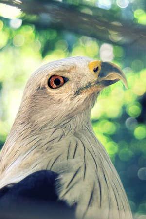 Bondol Indonesian eagle closeup Stock Photo