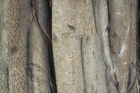 Banyan Tree Bark Texture