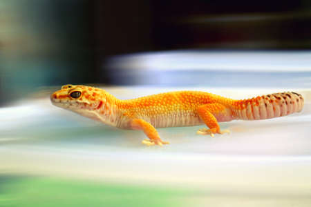 Gecko Yellow Color with Blur Background