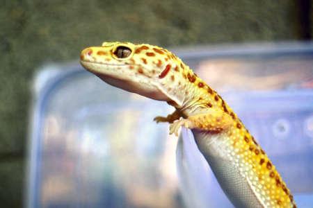 Gecko Head from left side