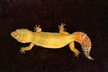 Gecko with Yellow Skin on Black Background Stock Photo