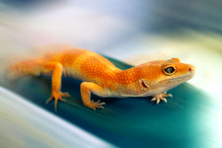 Gecko with Yellow Skin in Action