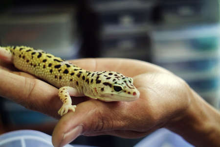 Gecko with Bottled Skin on Hand Stock Photo