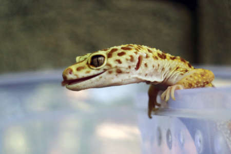 Closeup Geckos Head Stick Out Her Tongue