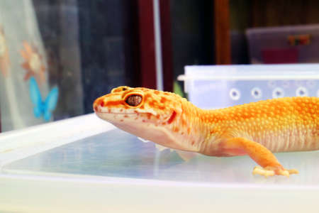 Yellow Gecko Creeping up on Table