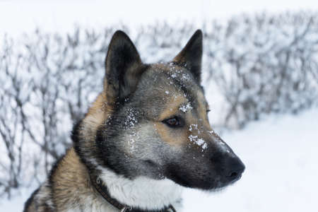 Husky to good winter weather for a walk