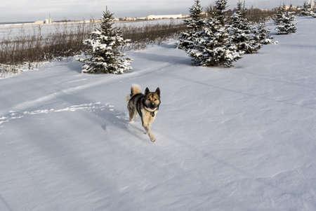 Husky dog runs through snow after blizzard. Siberian husky in snow drift. Stok Fotoğraf