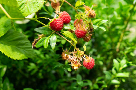 Raspberry berries on the branches. Healthy food. Copy space Imagens
