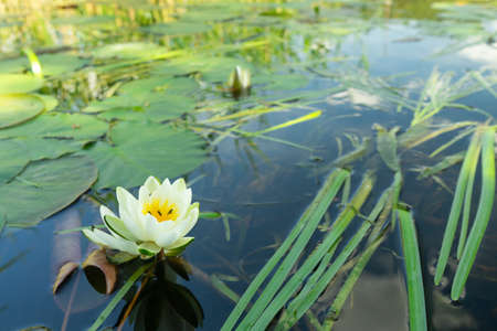 White lotus with yellow pollen on surface of pond. Stock Photo
