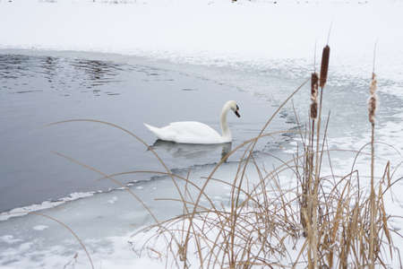 White swans swim in the wormwood on the lake.