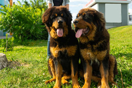 A pair of Tibetan Mastiff puppies on a walk on the green grass. Summer evening.