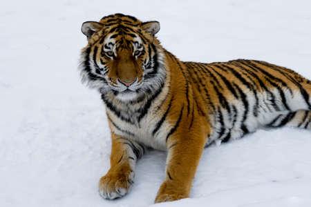 Hermoso gato salvaje tendido en la nieve y mirando a la presa.