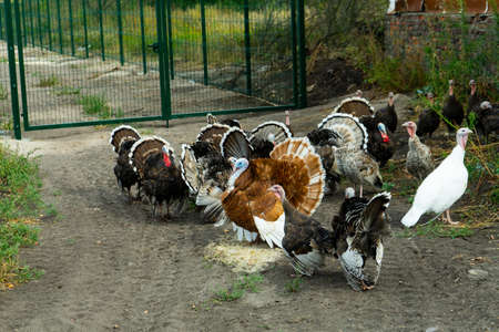 A flock of turkeys. Poultry. Agriculture. A flock of poultry.