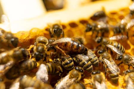 Ape regina e api su un primo piano a nido d'ape. lavoro delle api